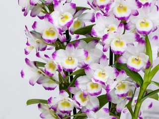 История Орхидеи Дендробиум (DENDROBIUM)