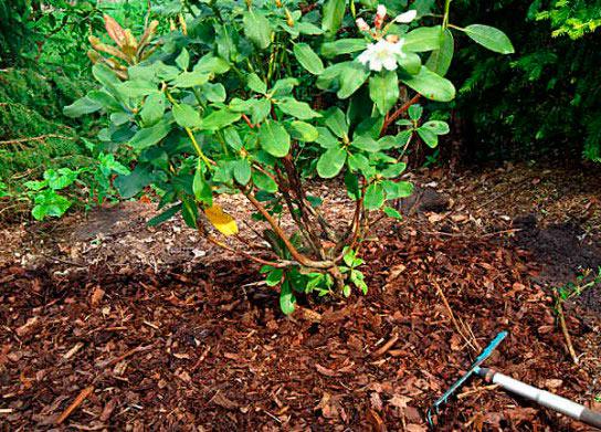 Рододендроны посадка и уход в открытом грунте